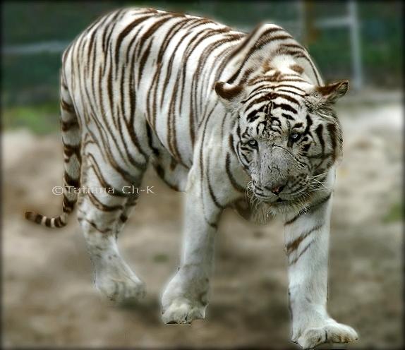 white siberian tiger - photo #35