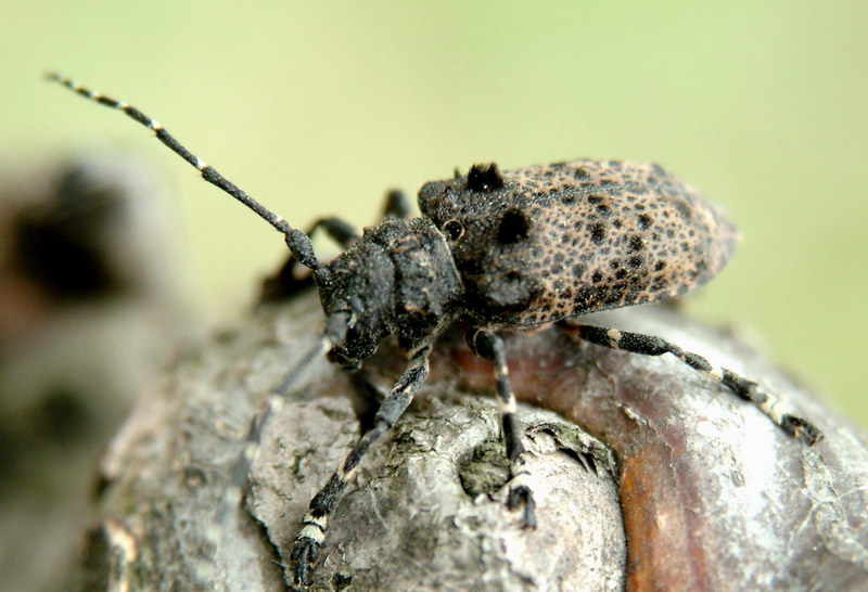 Moechotypa diphysis (Hairy Long-horned Toad Beetle) <!--털두꺼비하늘소-->; Image ONLY