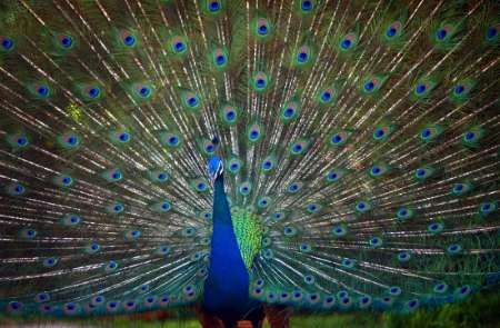 Indian Peafowl, Hawaii [REUTERS 2005-05-12]; Image ONLY