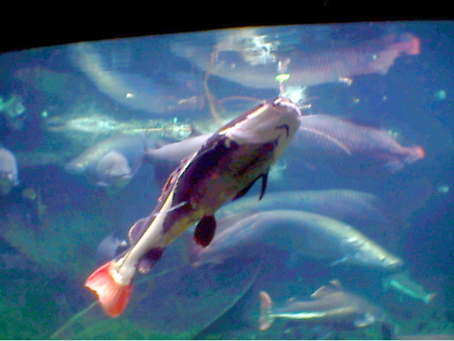 LARGE AMAZON FISHES/RED-TAILED CATFISH; Image ONLY