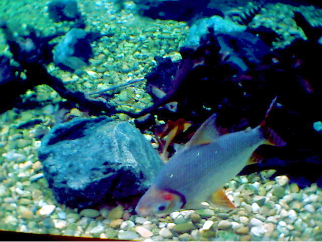 LARGE AMAZON FISHES; Image ONLY