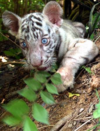 White TIger Cub, India [REUTERS 2005-05-17]; Image ONLY