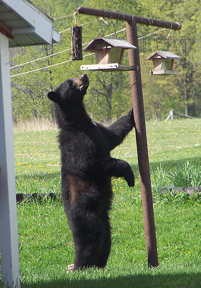 fun facts about the north american black bear Black bears are the smallest north american bears, ranging from 5-6 feet long   acorns remain the single most important natural food for bears in maryland.