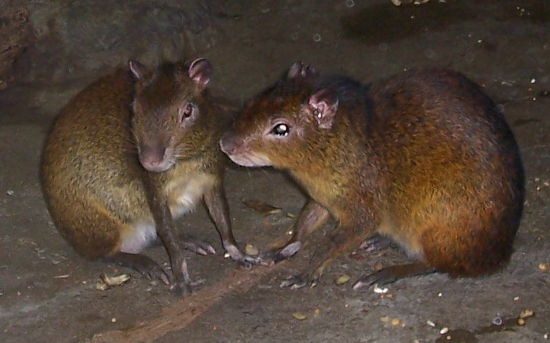 Agouti; Image ONLY