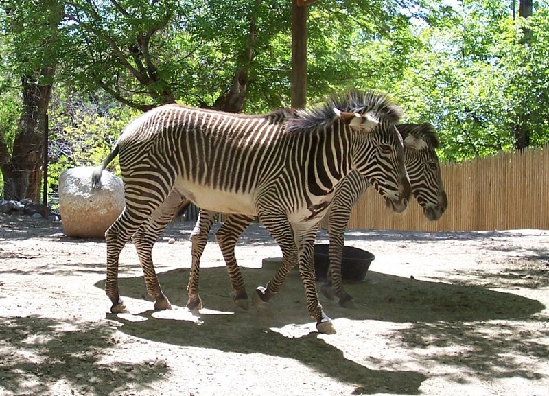 Grevy's Zebra (Equus grevyi); DISPLAY FULL IMAGE.