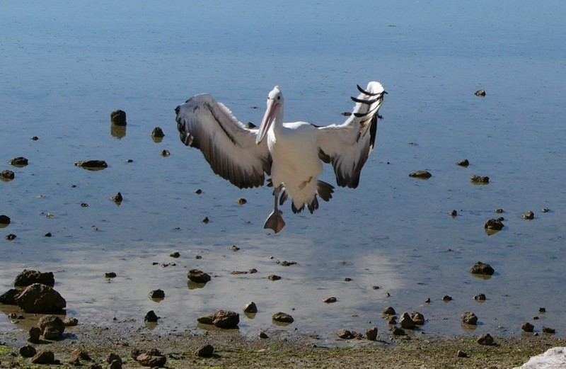 One-legged Australian pelican 1; DISPLAY FULL IMAGE.