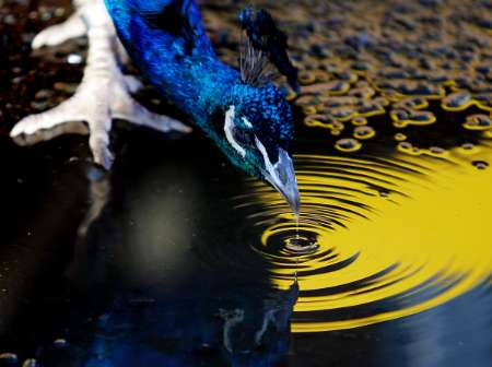 Indian Blue Peacock, Australia [REUTERS 2005-06-09]; Image ONLY