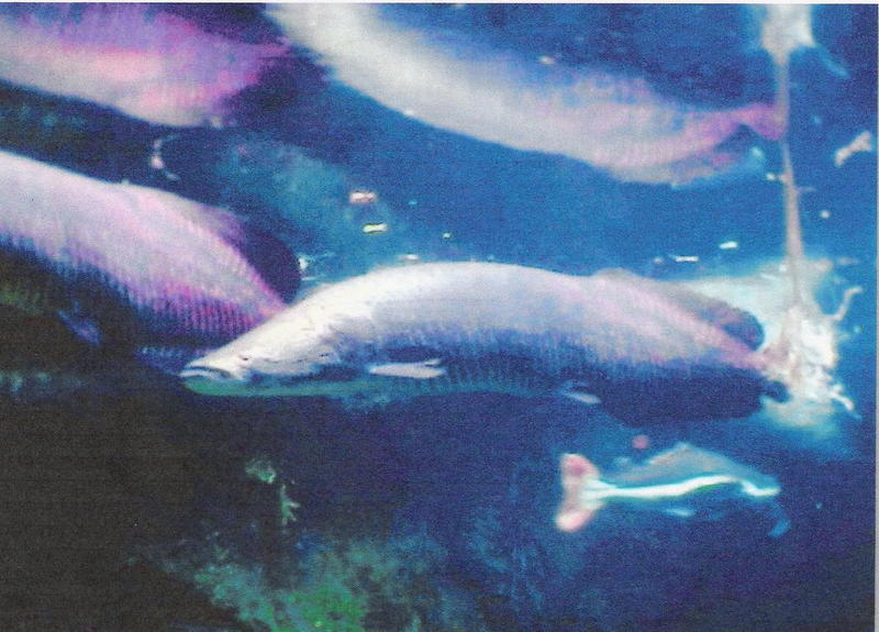 AMAZON RIVER FISH PHOTO 3; DISPLAY FULL IMAGE.