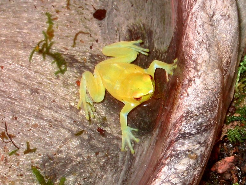 Unidentified tree frog; DISPLAY FULL IMAGE.