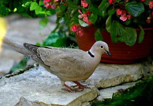 - TURTLE-DOVE -; Image ONLY