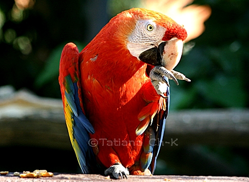 - ARA-MACAW -; Image ONLY