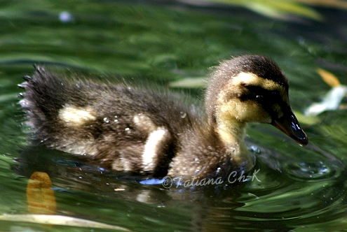 - DUCKLING -; Image ONLY