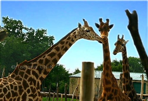 - GIRAFFES' TRIO -; Image ONLY