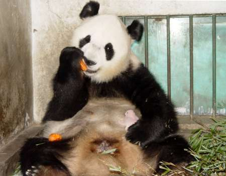 Giant Panda Ying Ying, China [REUTERS 2005-07-13]; Image ONLY