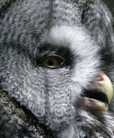 Great Grey Owl, Germany [REUTERS 2005-07-15]; Image ONLY
