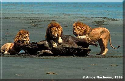 Male lions can hunt and kill; Image ONLY