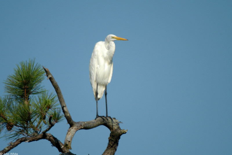 Great Egret (Ardea alba) 0001; DISPLAY FULL IMAGE.