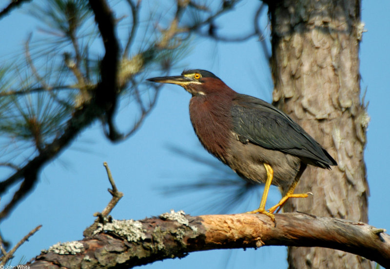 Green Heron (Butorides virescens); DISPLAY FULL IMAGE.