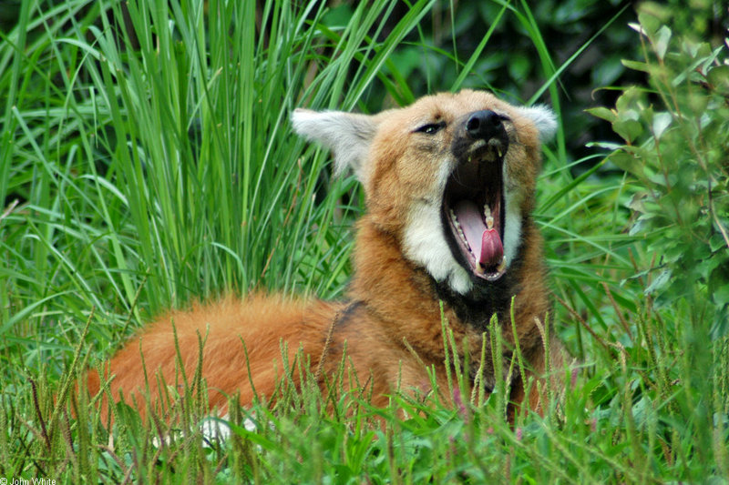 Expressions of a Maned Wolf - Maned Wolf (Chrysocyon brachyurus)0125; DISPLAY FULL IMAGE.