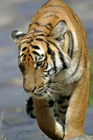 South Chinese Tiger [REUTERS 2005-08-22]; Image ONLY