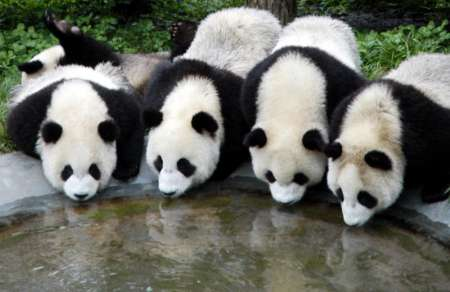 Giant Pandas, China [REUTERS 2005-08-26]; Image ONLY