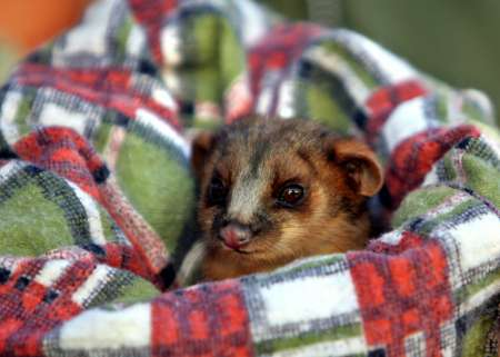 Baby Ringtail Possum, Australia [REUTERS 2005-09-01]; Image ONLY