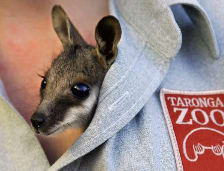 Baby Yellow-footed Rock Wallaby, Australia [REUTERS 2005-09-01]; Image ONLY