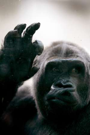Gorilla, Mexico [REUTERS 2005-09-14]; Image ONLY