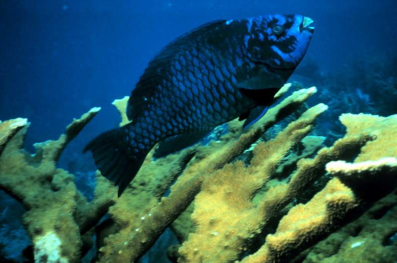 Midnight Parrotfish (Scarus coelestinus) <!--먹파랑비늘돔-->; DISPLAY FULL IMAGE.