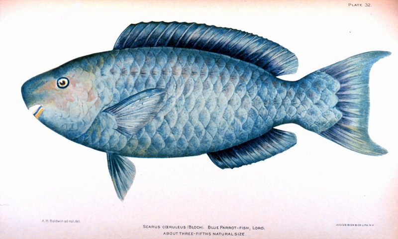 Blue Parrotfish (Scarus coeruleus) <!--파랑비늘돔-->; DISPLAY FULL IMAGE.