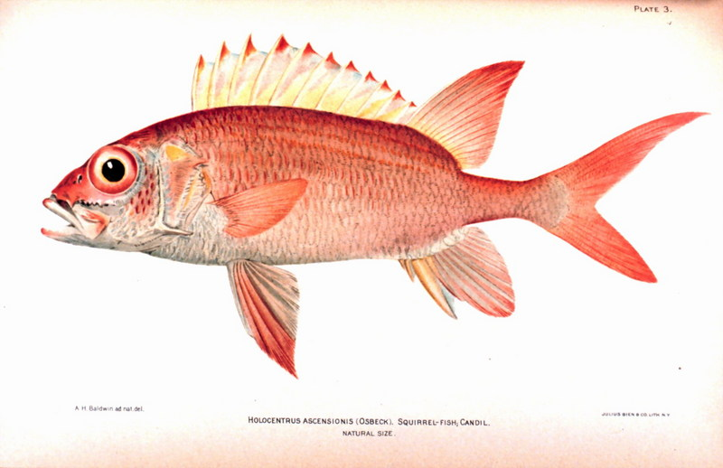 Squirrelfish (Holocentrus adscensionis) <!--얼게돔류-->; DISPLAY FULL IMAGE.