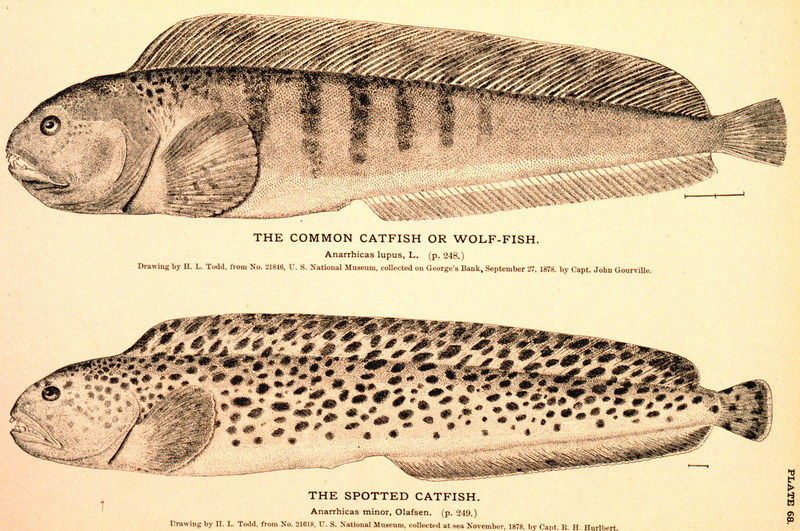 Common Catfish <!--북대서양이리치--> / Spotted Catfish <!--점박이이리치-->; DISPLAY FULL IMAGE.