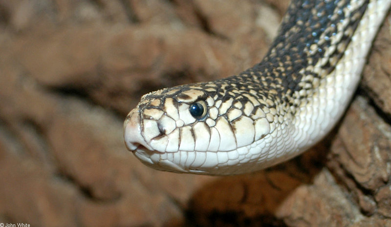 Northern Pine Snake (Pituophis melanoleucus); DISPLAY FULL IMAGE.