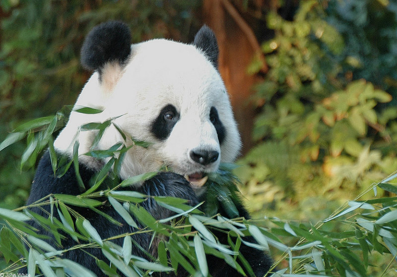 Giant Panda (Ailuropoda melanoleuca); DISPLAY FULL IMAGE.