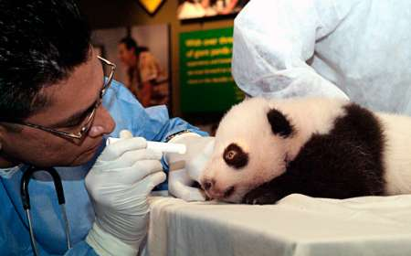 Giant Panda Cub, USA [REUTERS 2005-09-19]; Image ONLY