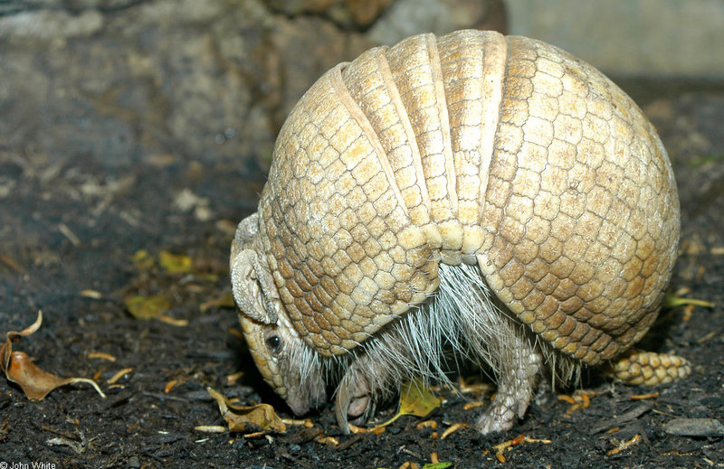 La Plata Three-banded Armadillo (Tolypeutes matacus); DISPLAY FULL IMAGE.