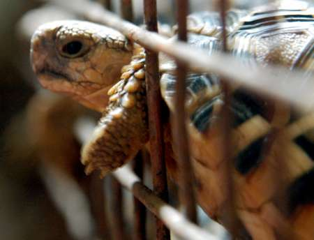 Star Tortoise, India [REUTERS 2005-09-20]; Image ONLY