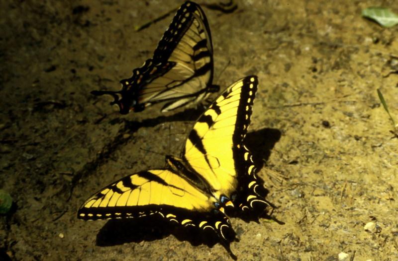 Tiger Swallowtail Butterfly.jpg
