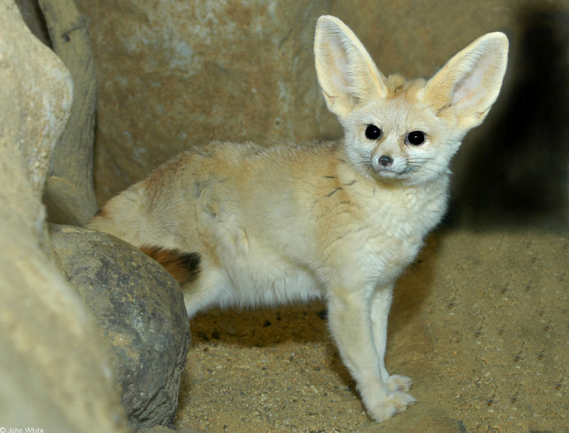 Fennec Fox (Fennecus zerda); DISPLAY FULL IMAGE.