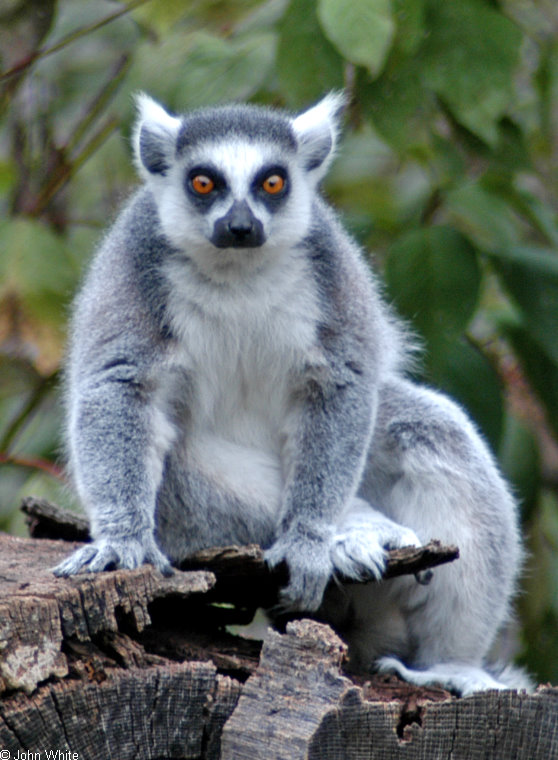 Ring Tailed Lemur (Lemur catta); Image ONLY