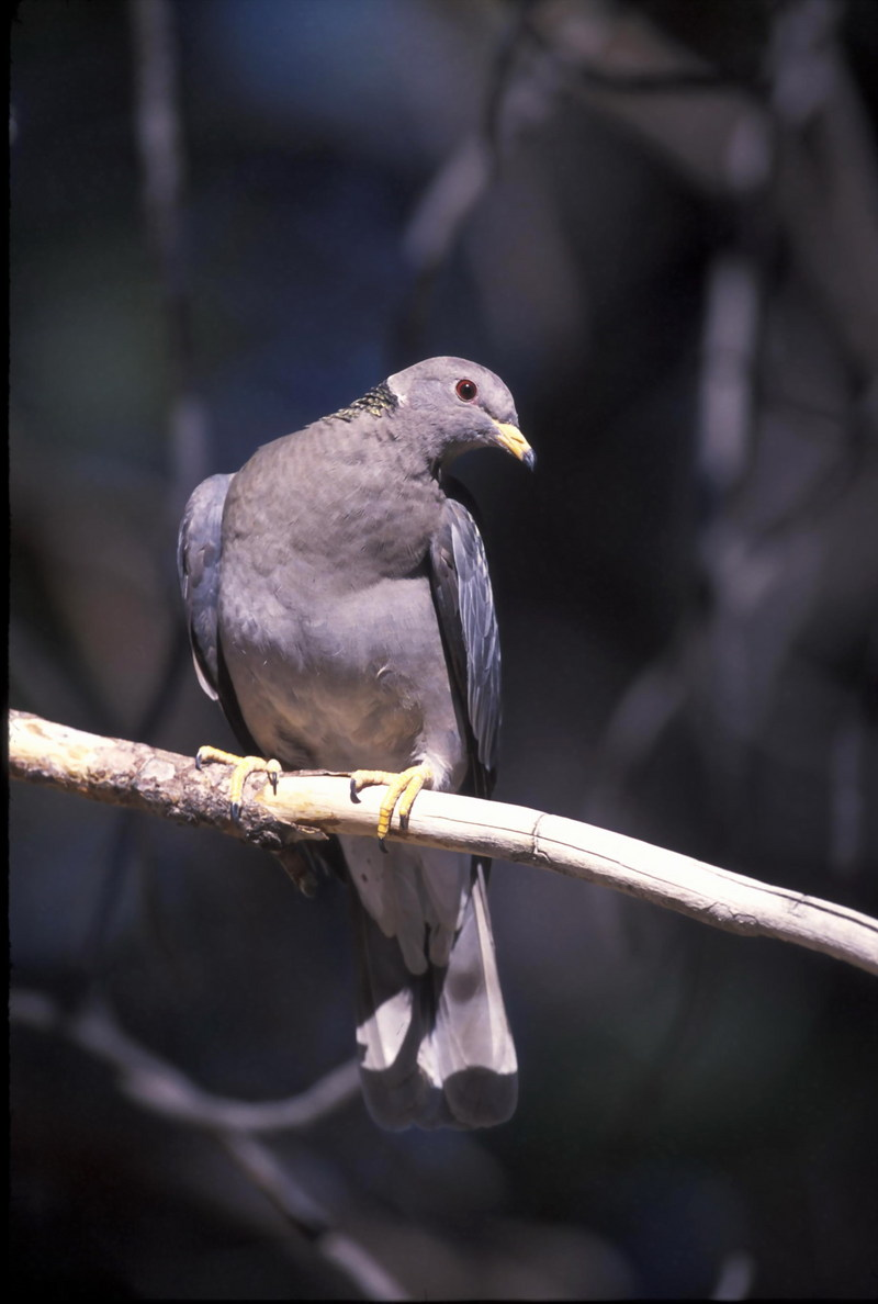 Band-tailed Pigeon (Columba fasciata) <!--줄무늬꼬리비둘기(아메리카)-->; DISPLAY FULL IMAGE.