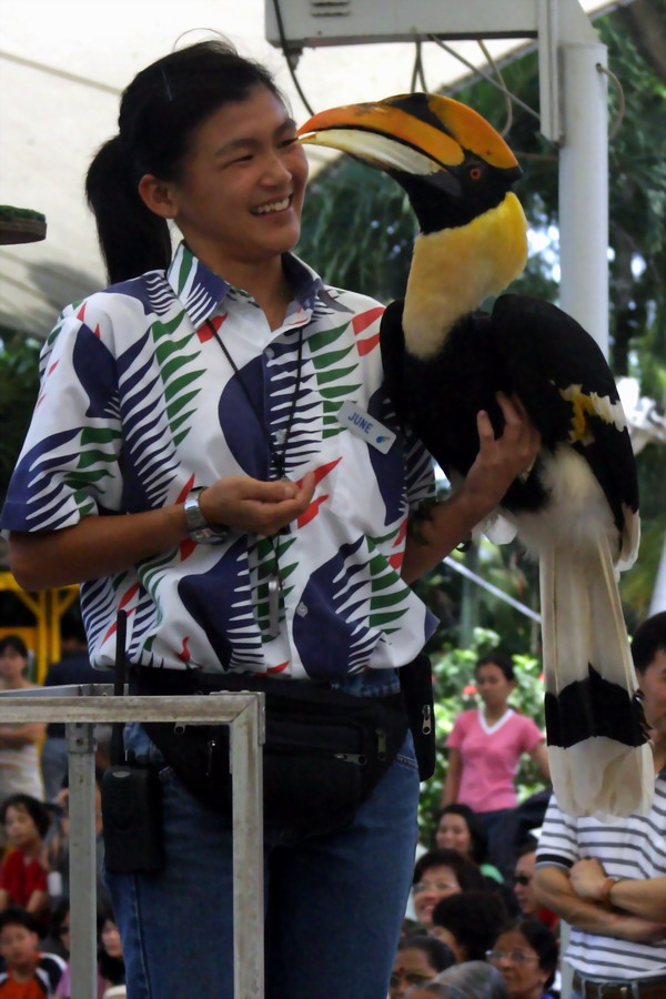 Great Pied Hornbill (Buceros bicornis) {!--큰코뿔새-->; Image ONLY
