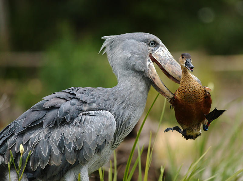 African Shoebill Stork picks up a Duck; DISPLAY FULL IMAGE.