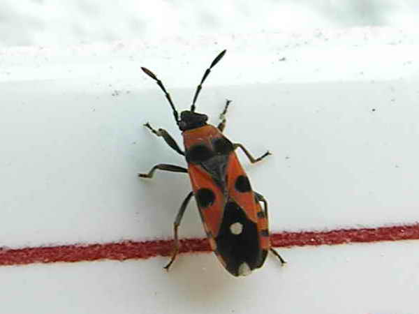stink bug; Image ONLY