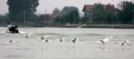 Domestic Geese, Romania [REUTERS 2005-10-15]; Image ONLY