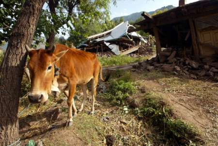 Cow, Kashmir [REUTERS 2005-10-15]; Image ONLY