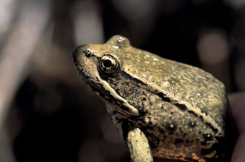 Red-legged frog.jpg