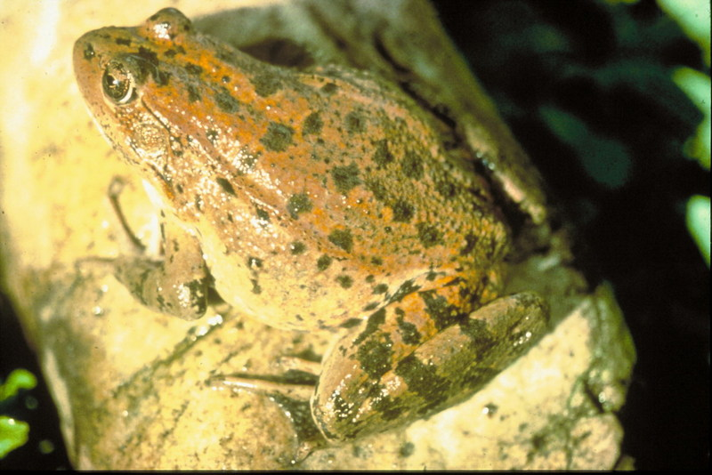 Red-legged Frog (Rana aurora) <!--붉은발개구리-->; DISPLAY FULL IMAGE.