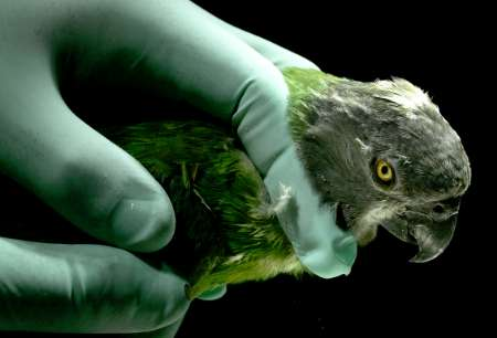 Senegal Parrot, Italy [REUTERS 2005-10-19]; Image ONLY