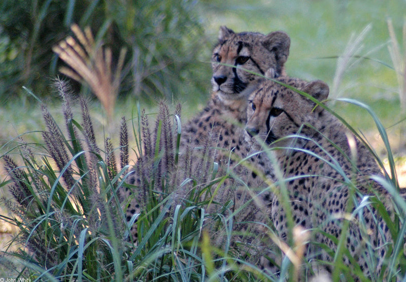 Cheetah057.jpg